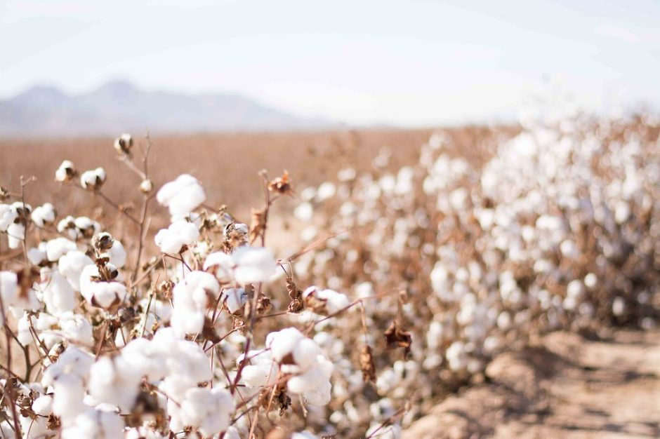 Cotton field photographed by Jubilee Family Photography in Gilbert, AZ.